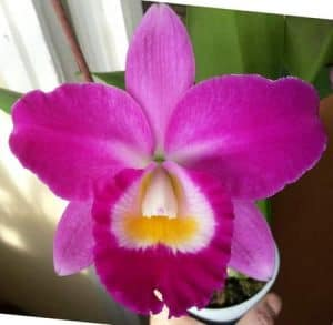 cattleya orchid care