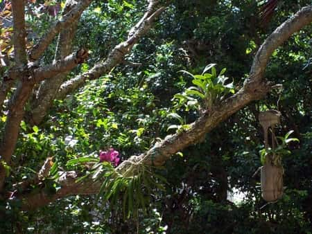 orchids in trees