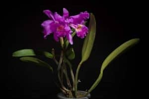 Orchid Care Cattleya