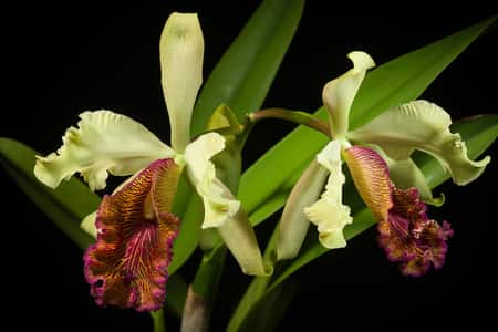 orchid terminology