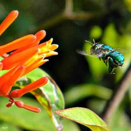 orchid bee polinator
