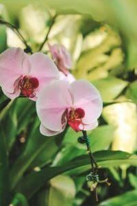 reblooming orchids