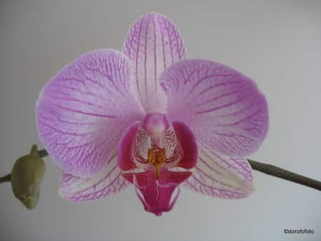 Phalaenopsis Orichid care for Novice Growers