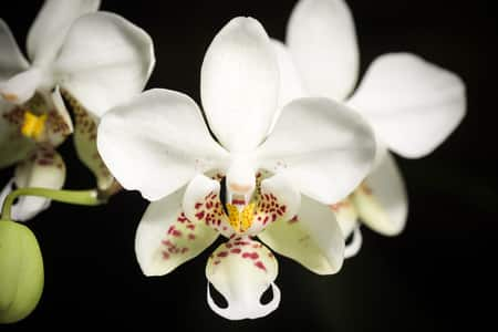Moth Orchid for Beginners