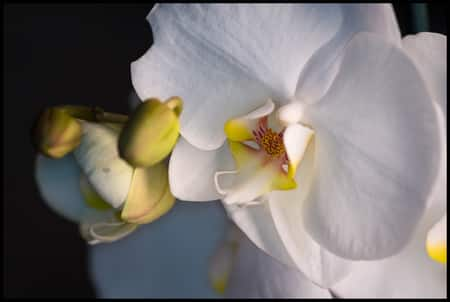 Orchid Care For Beginners: Phalaenopsis