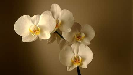 Phalaenopsis Orchid Care