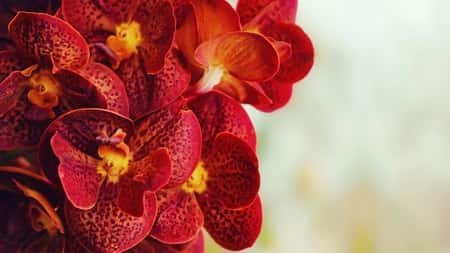orchid keiki