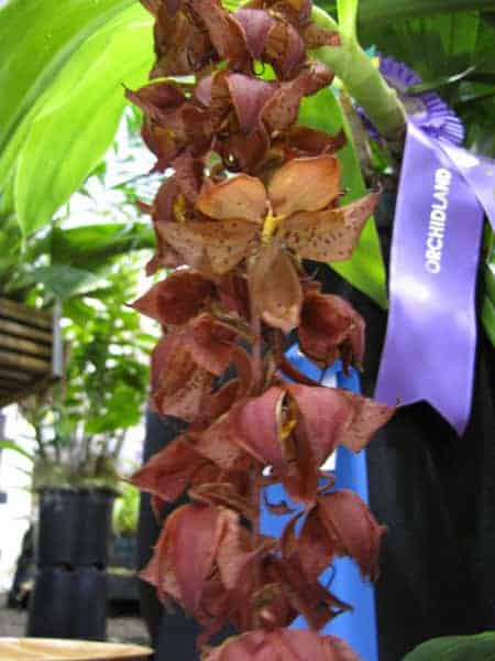 Cycnoches WIne Delight