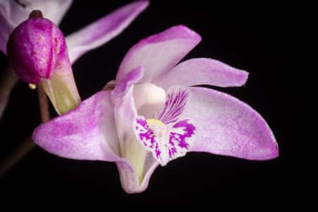 Orchid Aroma