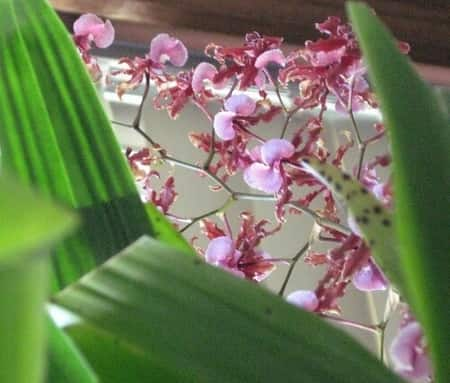 Orchid Frangrance