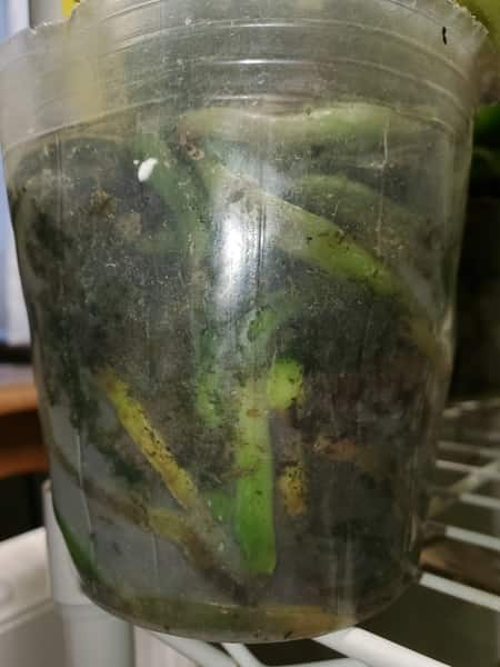 green Slime on inside of Orchid Pot