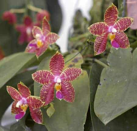 Red Moth Orchids