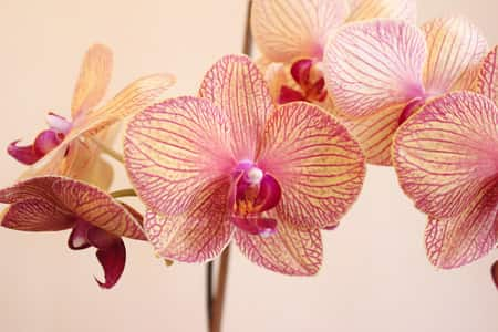 Salmon Colored Moth Orchid