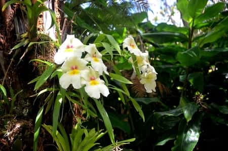 Miltoniopsis Orchid  in Nature