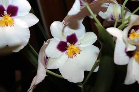 Miltoniopsis Care Guide