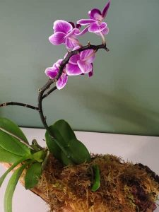 An orchid moutned on driftwood using superglue