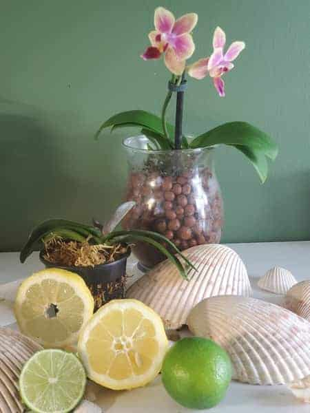 Orchids and Lemons: cleaning orchid leaves