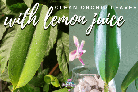 Before and After Using Lemon Juice to Clean Orchid Leaves