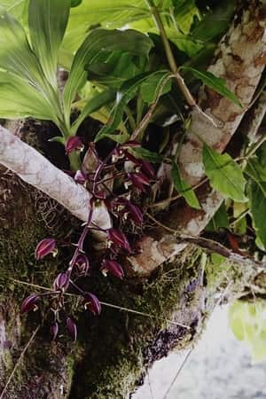 Catasetum Orchid in A Tree