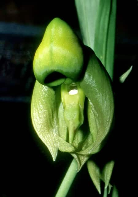 Female catasetum Orchid