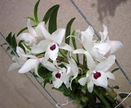 Dendrobium Orchid Classification