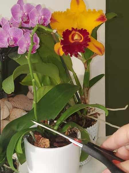 Cutting above the orchid node