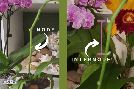 Orchid Node and Internode