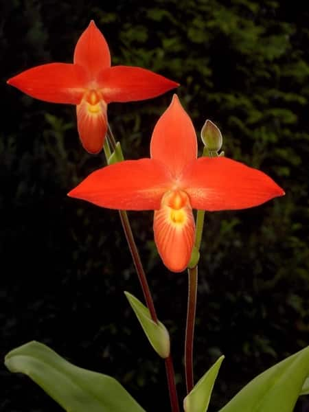 Phragmipedium Beseeae