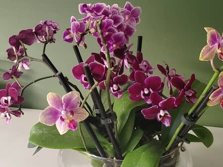 Hydroponic Orchids