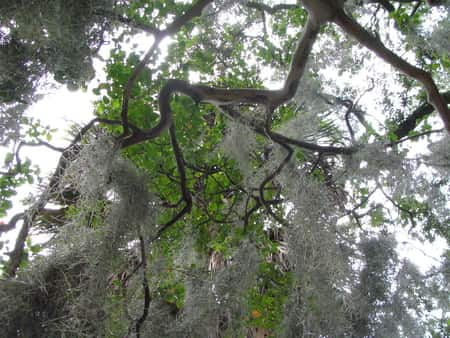 Spanish Moss in a tree