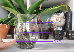 growing orchids hydroponically