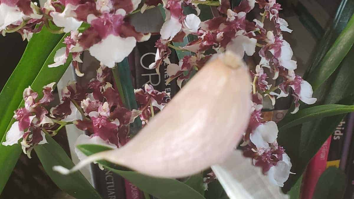 Garlic Clove and An Orchid