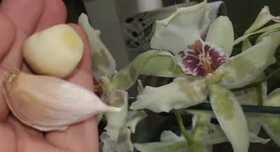 Garlic and Orchids
